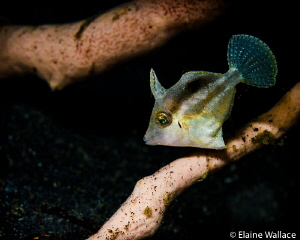 Juvenile filefish by Elaine Wallace