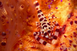 Coleman Shrimp in his fiery home. by Alex Mitchell