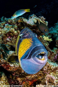 Teeths! A friendly (!) triggerfish shows his strong theets. by Pietro Cremone