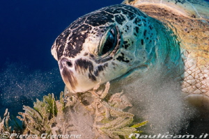 A big turtle was eating and didn't care about the photogr... by Pietro Cremone
