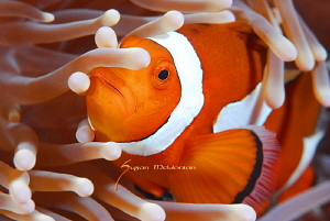 Anemone Fish feelin the groove by Suzan Meldonian