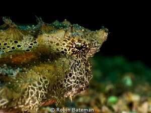 Caught some great shots of this Batfish at Blue Heron Bri... by Robin Bateman