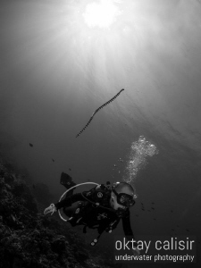 SEA SNAKE DESCENDING ON DIVER AFTER A BREATH OF AIR :) by Oktay Calisir