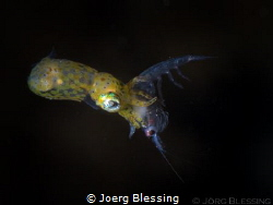 tiny pygmy squid caught a small shrimp by Joerg Blessing