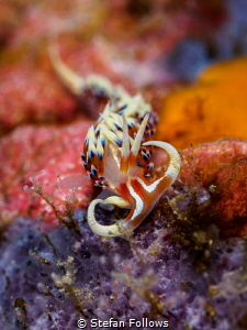 Raging Bull. Nudibranch - Caloria indica. Samran, Thailan... by Stefan Follows