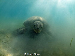 """Alien"" turtle in Mayotte by Marc Grau"