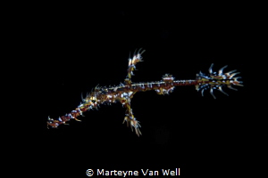 Ornate ghost pipefish on night dive - taken with a Canon ... by Marteyne Van Well