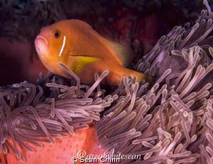 Maldive Clownfish by Sean Chinn