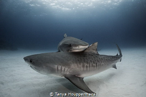 'Tandem Tigers' Two tiger sharks make contact as they sw... by Tanya Houppermans