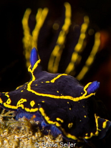Hypselodoris picta by Beate Seiler