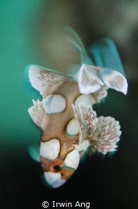 S W I N G Juvenile sweetlips (Plectorhinchus chaetodonoi... by Irwin Ang