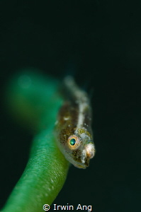 G R E E N Goby Anilao, Philippines. May 2014 by Irwin Ang