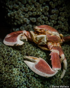 Porcelain crab in Lembeh by Elaine Wallace