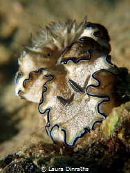 Margin glossodoris nudibranch, macro lens by Laura Dinraths