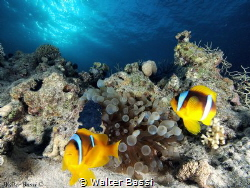 Clown fish and anemone house by Walter Bassi