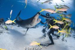 Say ah ! Tiger beach by Dave Baker