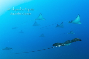 School of Eagle Rays, Acapulco Mexico by Alejandro Topete