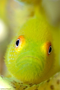 This goby is not the same which was from Bali (in my prev... by Iyad Suleyman