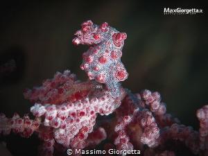 pigmy sea horse bargibanti by Massimo Giorgetta