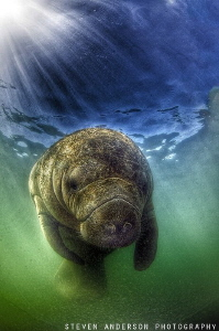 Its that time of the year, the Manatees of South Florida ... by Steven Anderson