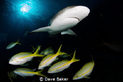 Caribbean reef shark by Dave Baker