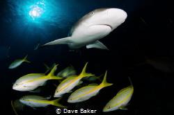 Caribbean reef shark by Dave Baker