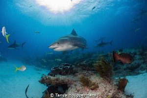 Queen of the Reef A large female tiger shark glides over... by Tanya Houppermans