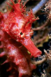 Red sea-horse. This is one of the most beautiful I've eve... by Arthur Telle Thiemann