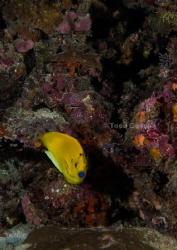 Threespot Angelfish by Taco Cheung