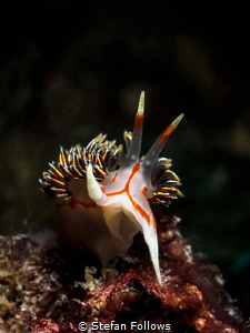 Final Farewell. Nudibranch - Phidiana militaris. Chaloklu... by Stefan Follows