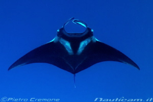 Manta ray by Pietro Cremone