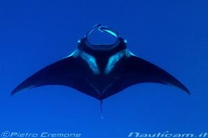 Manta ray by Pietro Cremone
