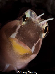 Lined Blenny by Joerg Blessing