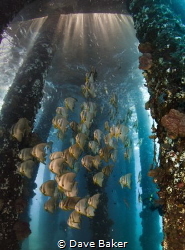 Bat fish under pier near Candidasa in Bali by Dave Baker