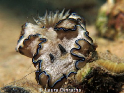 Black-margin glossodoris (Glossodoris atromarginata) on r... by Laura Dinraths