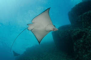 Eagle Ray close to the surface, Acapulco Mexico by Alejandro Topete