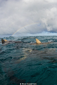 After the Rain Lemon sharks congregate at the surface un... by Tanya Houppermans
