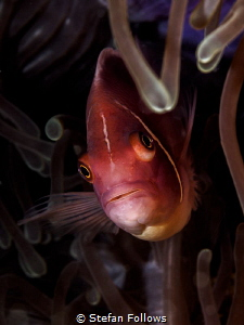 Psycho Killer. Pink Anemonefish - Amphiprion perideraion.... by Stefan Follows