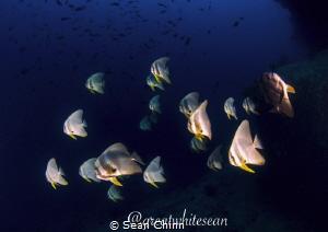 Schooling Batfish by Sean Chinn