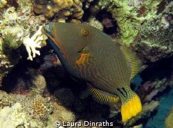 Shy orange-striped triggerfish by Laura Dinraths