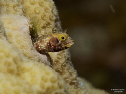Spinyhead Blenny (Acanthemblemaria spinosa), St Lucia