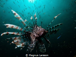 Lionfish stalking it's prey in the sunshine. Thos Lionfis... by Magnus Larsson