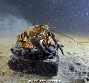 It snow on this crayfish. by Philippe Brunner
