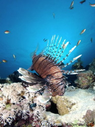 Lion fish by Walter Bassi