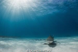 Lemon Rays A lemon shark glides through the sun rays off... by Tanya Houppermans