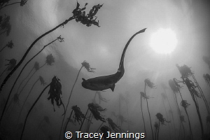 7 gill shark in Simonstown South Africa by Tracey Jennings