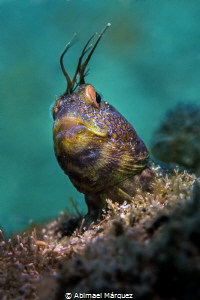 A Blenny smiled by Abimael Márquez