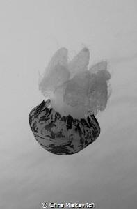 Marble jelly on safety Stop by Chris Miskavitch