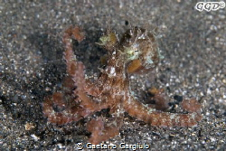 "P I O V R A... Octopus... ""Micropus"" :-) as big as a 2eur... by Gaetano Gargiulo"