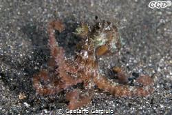 """P I O V R A... Octopus... """"Micropus"""" :-) as big as a 2eur... by Gaetano Gargiulo"""